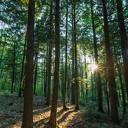 A grove of Eastern Hemlock, Tsuga canadensis, in Madbury, New Hampshire.