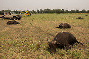 Darted Buffalo (Syncerus caffer)<br /> Gorongosa National Park<br /> Mozambique, Africa<br /> Buffalo to be darted from helicopter for blood and Probang (throat scrape) samples to test for foot-and-mouth disease to prepare localized vaccines for regionally different foot-and-mouth strains.