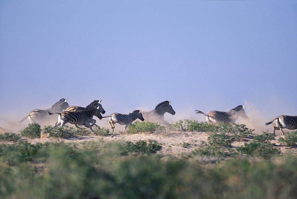 Namibia, Etosha National Park, Plains Zebra herd (Equus burchelli) flees from approaching pride of lions