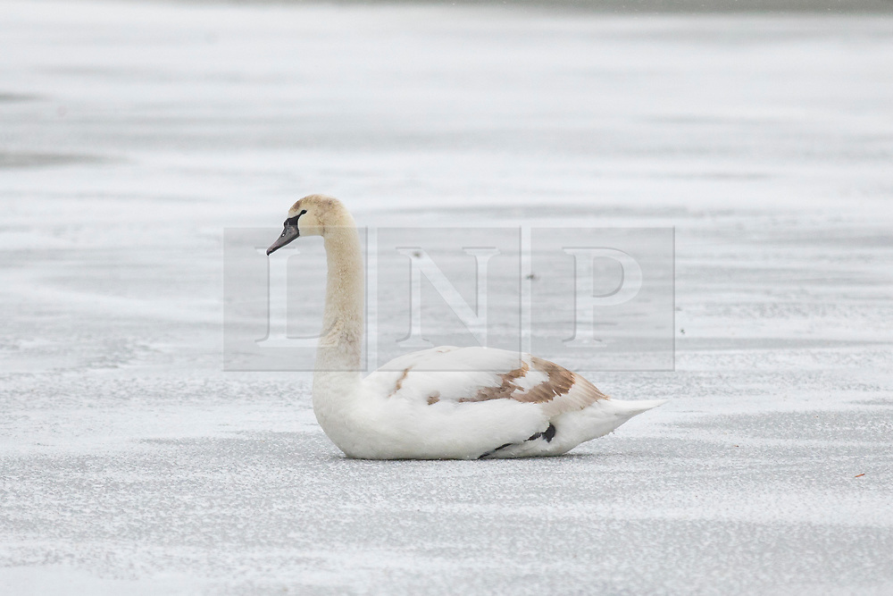 © Licensed to London News Pictures. 01/03/2018. London, UK. A swan sits on top of the ice as the lake in St James Park freezes over. The 'Beast from the East' and Storm Emma have brought extreme cold and heavy snow to the UK. Photo credit: Rob Pinney/LNP