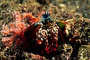 Der Bunte Fangschreckenkrebs (Odontodactylus scyllarus) verteidigt seinen selbsgestalteten Höhleneingang gegen vermeintliche Eindringlinge mit drohend abgespreizten Extremitäten. | Peacock mantis shrimp large male (Odontodactylus scyllarus)