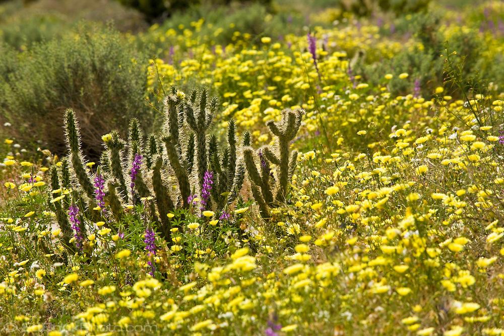 Cholla Cactus and Desert Dandelion in the Anza Borrego Desert