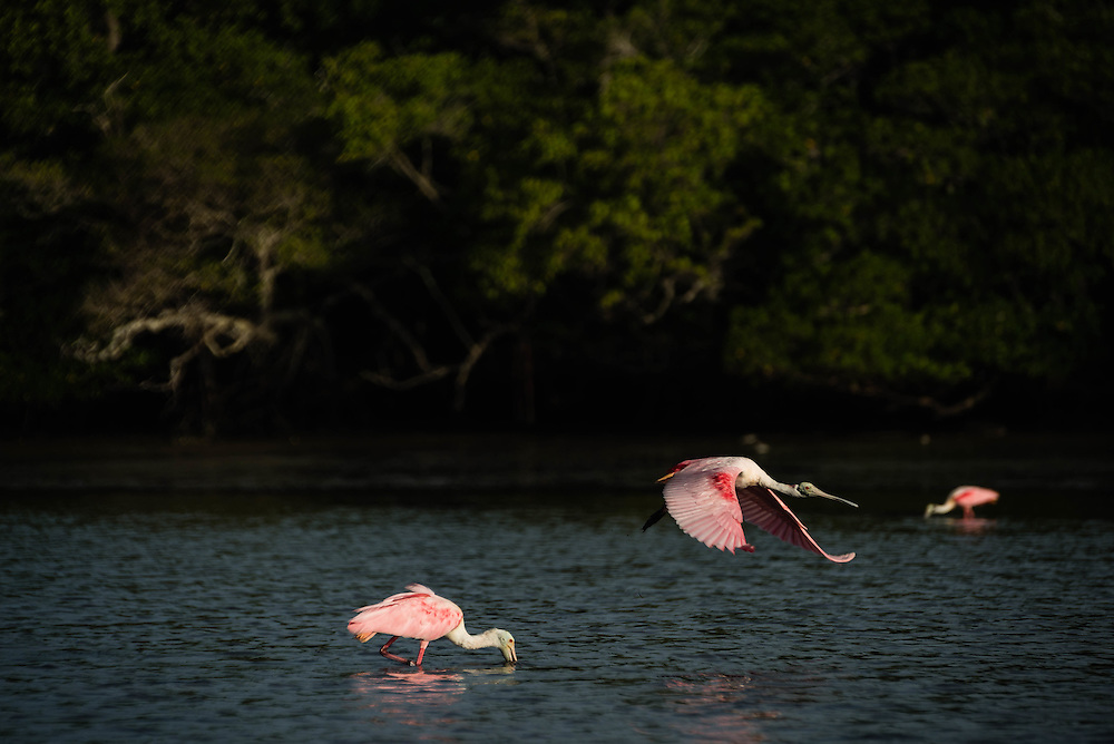 Two Roseate Spoonbills feed while another takes to flight, Lane Cove, Florida Everglades