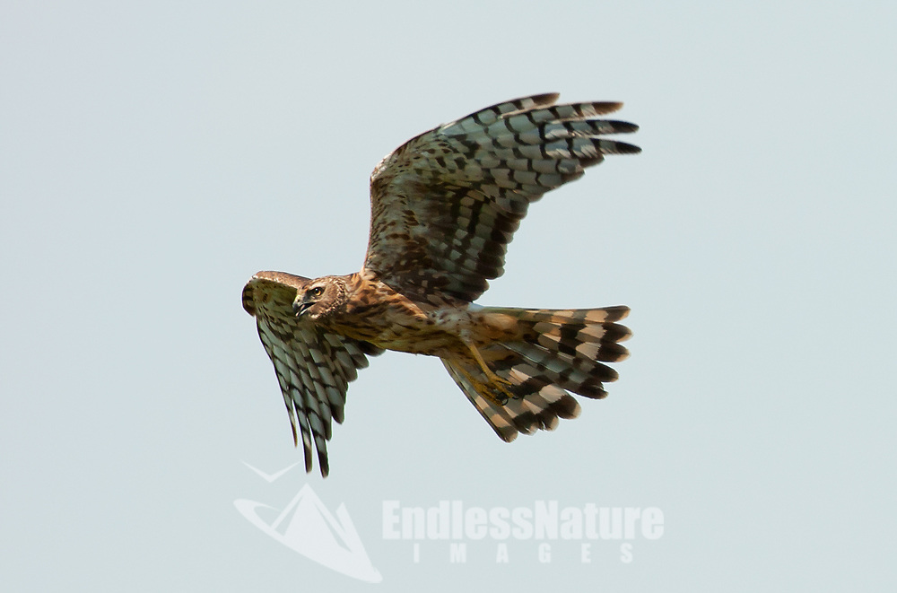 A Northern Harrier takes off from its perch in an old tree alongside a marsh in Utah.