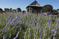 Blue Mealy Sage, (Salvia farinacea), Llano County, Texas
