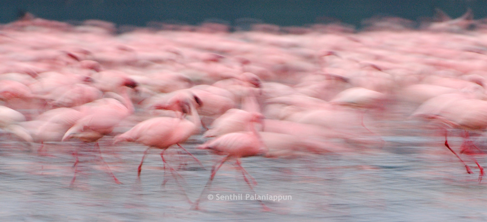 Lesser flamingos (Phoeniconaias minor) walking as a group, Lake Nakuru National Park, Kenya, Africa