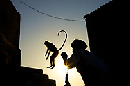 A Langur Monkey is jumping away from the guardian of Savitri Temple near Pushkar in India.<br />
