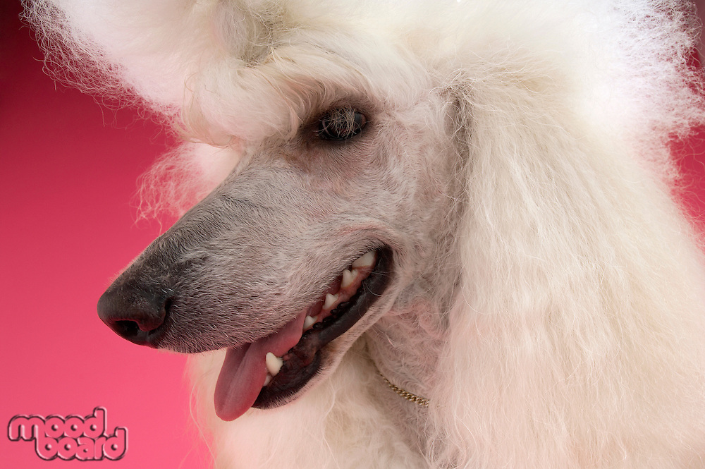 White Poodle looking away close-up
