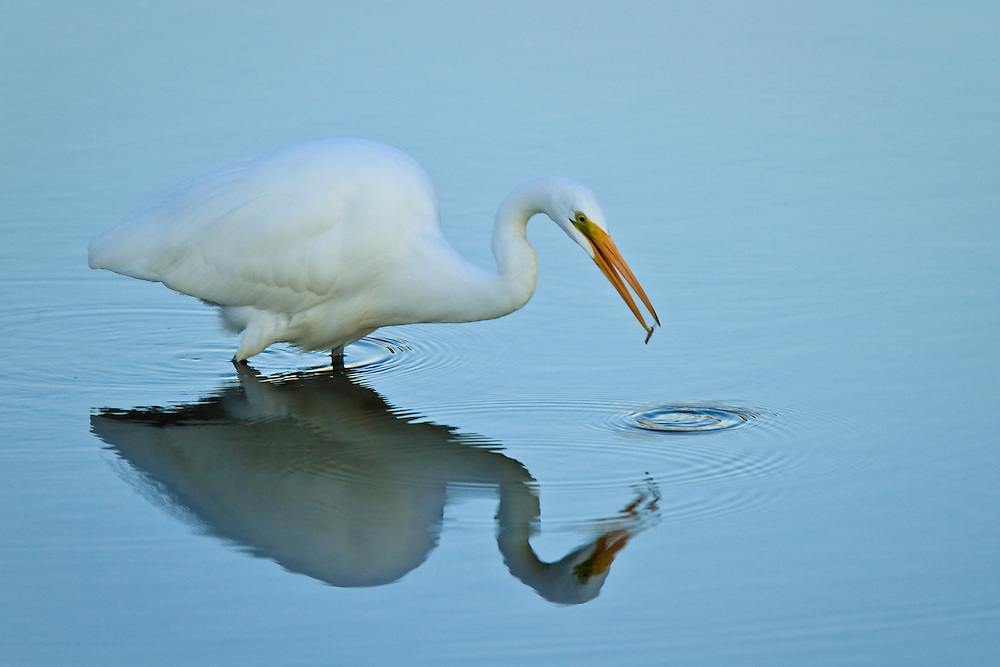 A great egret (Ardea alba) fishing at sunset crosses into the shade and casts a reflection, Chincoteague National Wildlife Refuge, Assateague Island, Virginia.