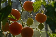 Solanaceae, Nachtschadefamilie
