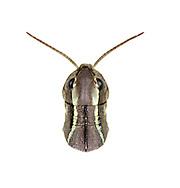 Large Marsh Grasshopper - Stethophyma grossum