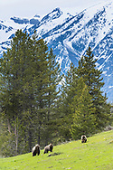 Grizzly Bears foraging roots and small yellow flowers in the mountains of Wyoming. <br /> <br /> This is a large file and can be printed large.