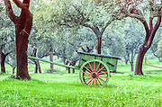 Wooden cart in forest of cork trees.