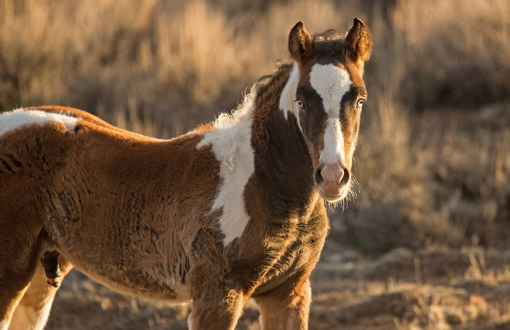 During September 2013, the mare, Ruger, gave birth to this handsome, blue-eyed colt, Ringer,sired by her band stallion, Tecumseh. Like his brother, Rebel, this little fellow possesses piercing blue eyes, a common trait of paint horses.