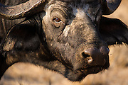 African Buffalo (Syncerus caffer) close up