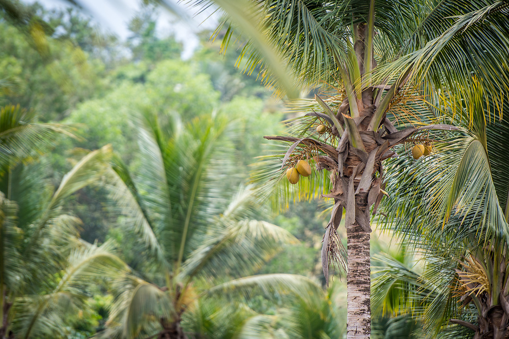 A Coconut tree (Cocos nucifera) grows on a farm in Ganta, Liberia