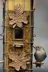 12 April 2009:  house sparrow eats from a feeder (Photo by Alan Look)