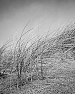 The textural contrast of grasses in the dune ecosystem at Point Reyes bow beneath a steady wind