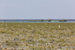 Pelicans and ibis forage for food on Mandora Marsh south of Broome.  The marsh is covered in samphine and algae.