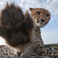 Africa, Kenya, Masai Mara Game Reserve,  Cheetah (Acinonyx jubatas) raises paw to swat at camera while resting atop safari truck