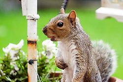 A Grey Squirrel with a small nut in hi mouth forages for food in a Brritish suburban garden <br />