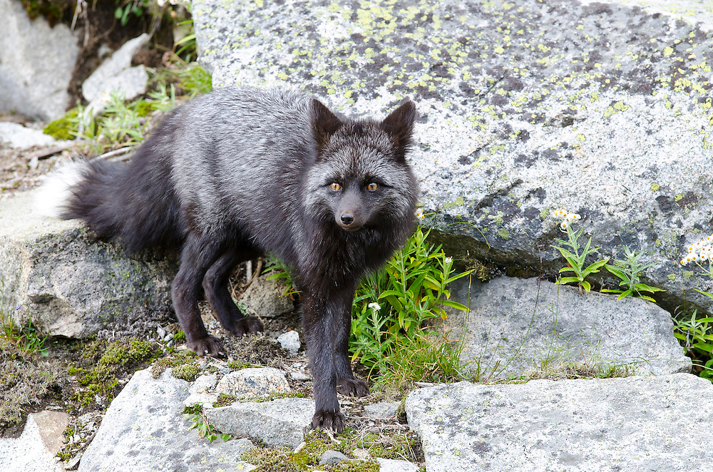 Red fox at Paradise Valley in Mount Rainier National Park.