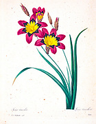 19th-century hand painted Engraving illustration of a Sparaxis tricolor, known by the common names wandflower, harlequin flower, and sparaxis, is a bulb-forming perennial plant [here as Ixia tricolor] by Pierre-Joseph Redoute. Published in Choix Des Plus Belles Fleurs, Paris (1827). by Redouté, Pierre Joseph, 1759-1840.; Chapuis, Jean Baptiste.; Ernest Panckoucke.; Langois, Dr.; Bessin, R.; Victor, fl. ca. 1820-1850.