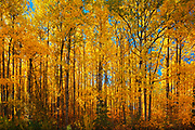 Autumn colors in aspen forest, Prince Albert National Park, Saskatchewan, Canada