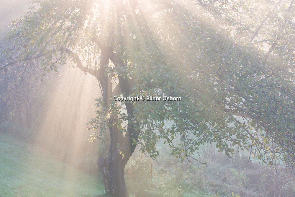 apple tree in morning sun and fog