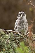A fledgling Great Grey Owl (Strix nebulosa), OR.