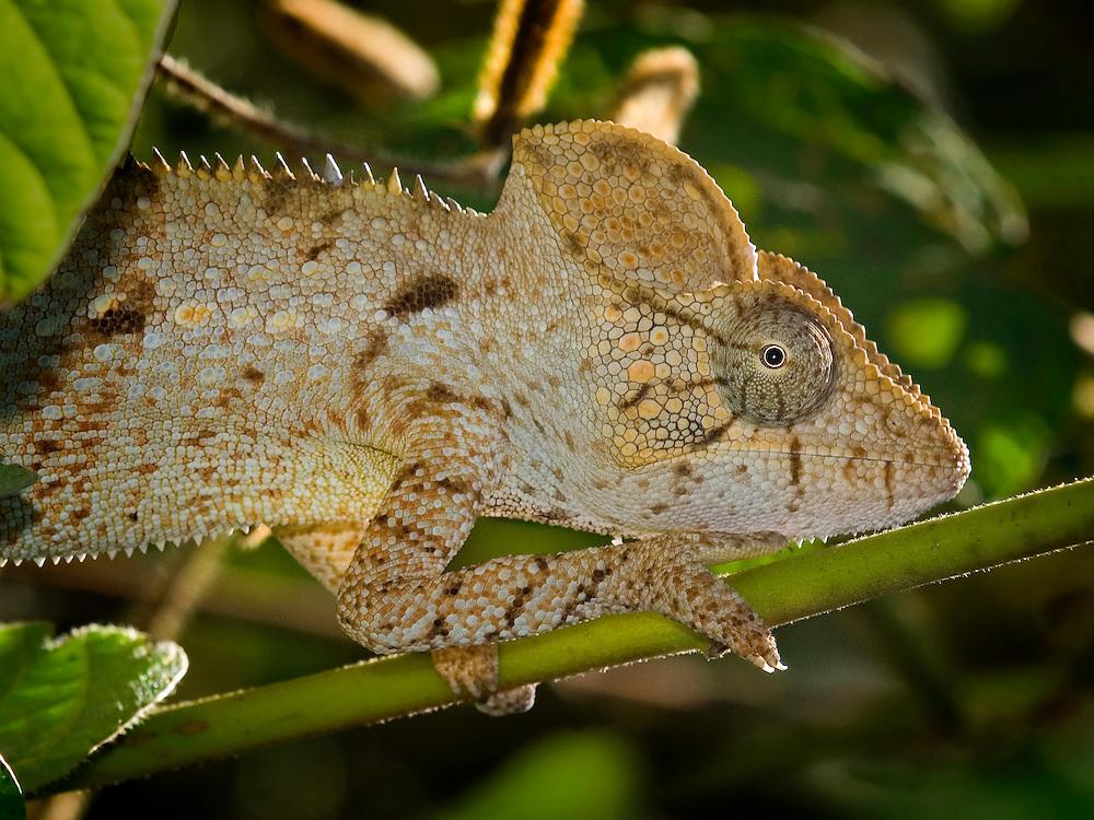 Oustalet Chameleon (Furcifer Oustaleti)