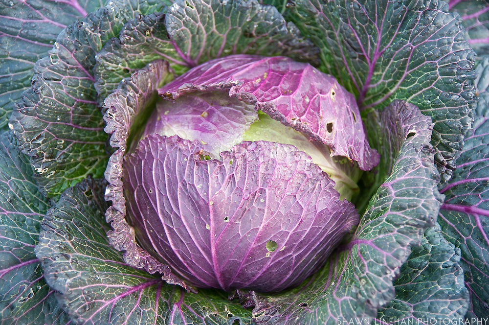 Purple cabbage heads in garden waits for harvesting.
