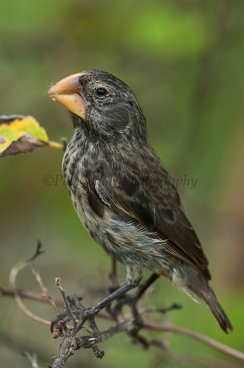 Large Ground Finch (Geospiza magnirostris)<br /> Highlands of Santa Cruz Island, GALAPAGOS ISLANDS<br /> ECUADOR.  South America