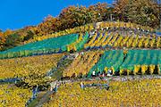 Weinlese, Weinberge, Pillnitz, Sächsische Schweiz, Elbsandsteingebirge, Sachsen, Deutschland | harvest, vineyards, Pillnitz, Saxon Switzerland, Saxony, Germany