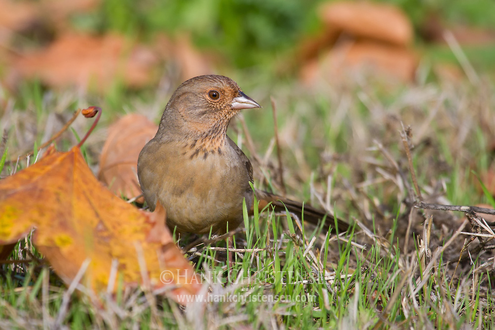 A california towhee pokes around in the grass for food