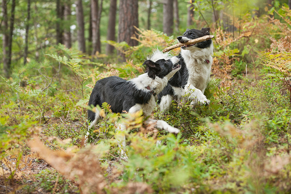 Two Border Collies playing in the woods