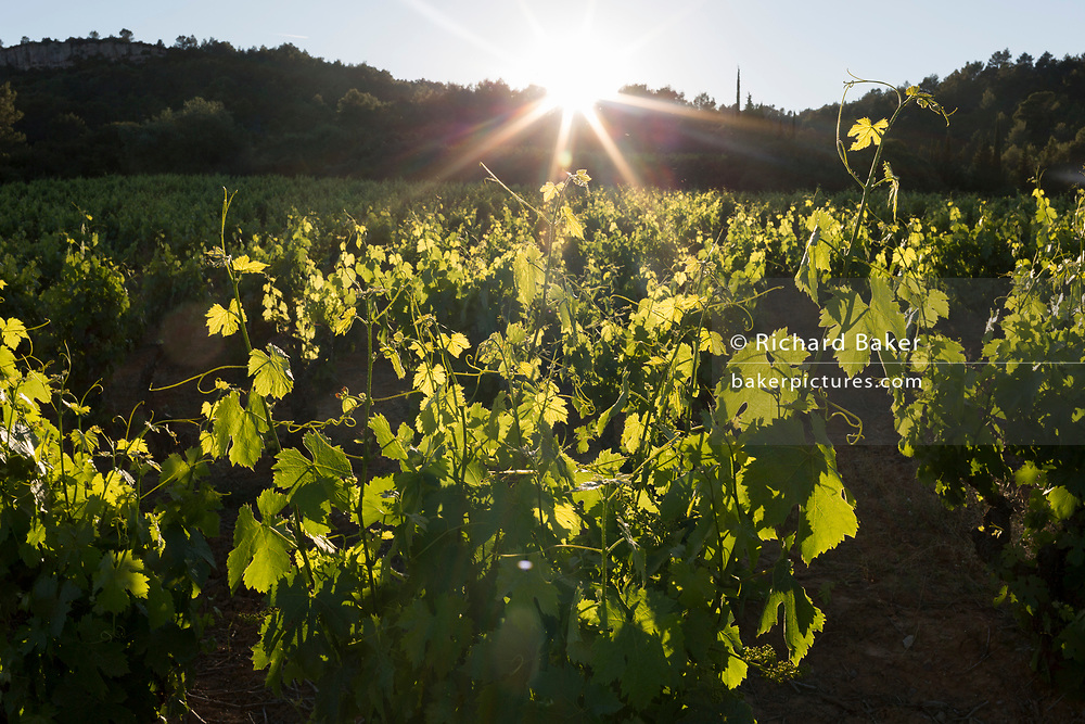 Evening sunlight shines through leaves and crops of a vineyard on farming land in the Corbieres wine region, on 25th May, 2017, in Lagrasse, Languedoc-Rousillon, south of France. Lagrasse is listed as one of France's most beautiful villages and lies on the famous Route 20 wine route in the Basses-Corbieres region dating to the 13th century.