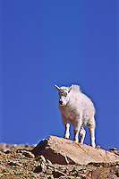 Mountain goat (Oreamnos americanus) A young kid on the alpine tundra.  Mount Evans, Colorado.
