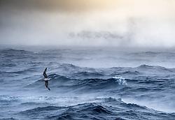 Northern fulmar (Fulmarus glacialis) above stormy winter ocean in Svalbard, Norway