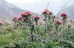 Pyreneeëndistel, Carduus carlinoides