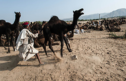 "© Licensed to London News Pictures. 21/11/2012. Pushkar, India. An Indian camel trader struggles with his out-of-control camel at the Pushkar Camel Fair in Rajasthan, India. The Pushkar Fair, or Pushkar ka Mela, is the annual five-day camel and livestock fair, held in the town of Pushkar in the state of Rajasthan, India. It is one of the world's largest camel fairs, and apart from buying and selling of livestock it has become an important tourist attraction and its highlights have become competitions such as the ""matka phod"", ""longest moustache"", and ""bridal competition"".  Photo credit : Richard Isaac/LNP"