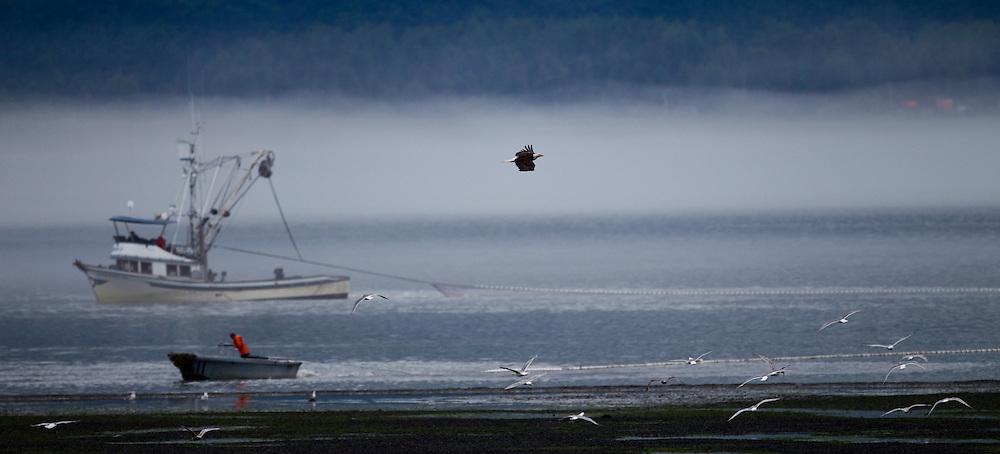 Alaska2010.-A Bald Eagle flies over fisherman netting Salmon in Homer Alaska.
