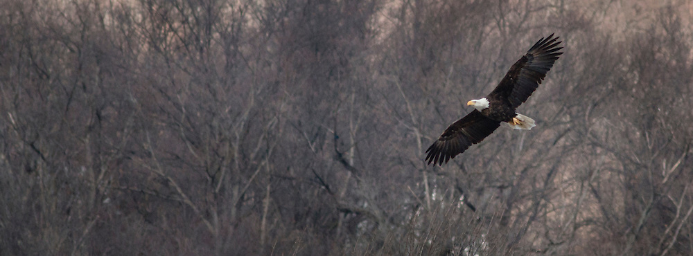 Cornwall, New York - A bald eagle flies near the Moodna Viaduct on a windy winter afternoon on March 15, 2015.