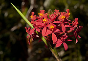 The flower of Epidendrum radicans from near Mindo, Ecuador.