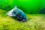 Blue Catfish<br /> <br /> Jennifer Idol/Engbretson Underwater Photography
