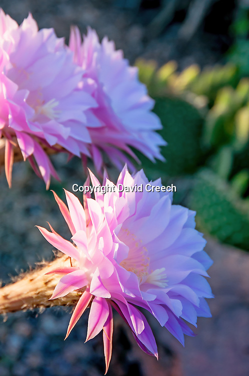 Easter Lily Cactus (Echinopsis oxygona) in bloom at sunrise.  This South American cactus does well in the lower elevations of Arizona.