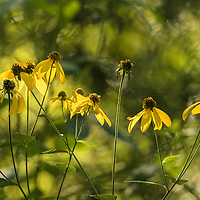 Black-eyed Susans in morning light