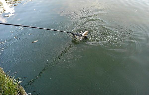 Nederland, Nijmegen,14-8-2012Een sportvisser heeft een zojuist gevangen vis in de hand.Nadat de haak, angel, vishaak, visangel is verwijderd zal hij hem terugzetten in het water van de vijver. Arbeidsmigranten uit oost europa eten de vis op en vissen zo de vijvers leeg.Foto: Flip Franssen/Hollandse Hoogte