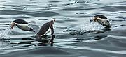 Gentoo penguins 'porpoising' to breathe, Argentine Islands, Antarctic Peninsula