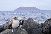 blue-footed booby (Sula nebouxii). Photographed in the Galapagos Island, Ecuador